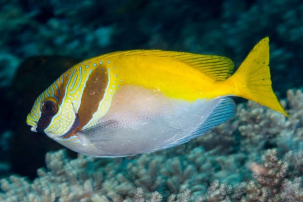 virgate rabbitfish