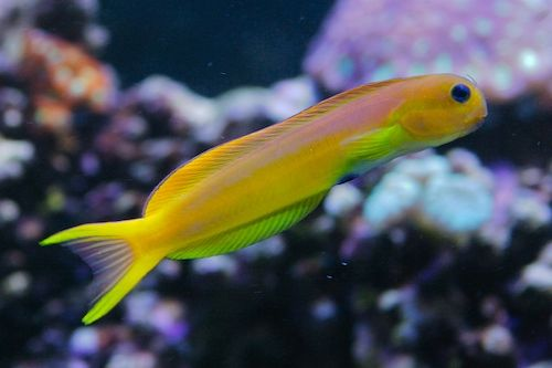 blenny for sale