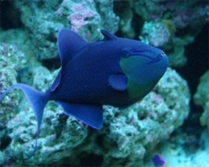 triggerfish for sale