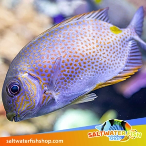 orange spot rabbitfish