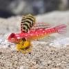 red dragonet blenny