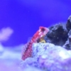 ruby red dragonet