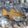 Threadfin Cardinalfish for sale