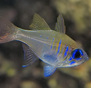 threadfin cardinal for sale