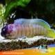 Tiger Jawfish