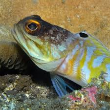 jawfish for sale