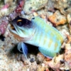 tiger jawfish