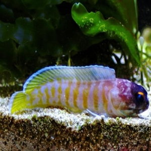 tiger jawfish for sale