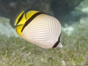 Vagabond butterfly fish for sale