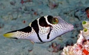 puffer fish for sale