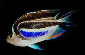 angelfish diet