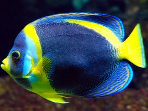 angelfish feeding