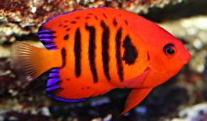 angelfish for sale