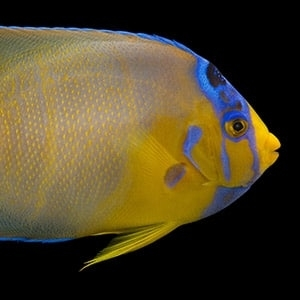 angelfish lifespan