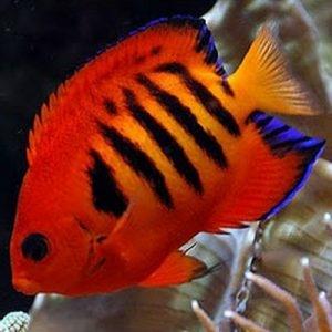 angelfish size