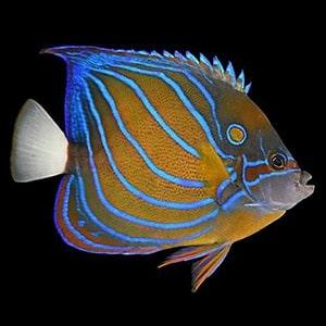 marine angelfish for sale