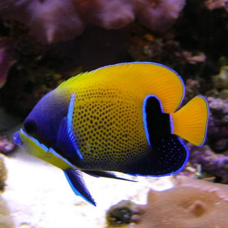 angelfish tank conditions