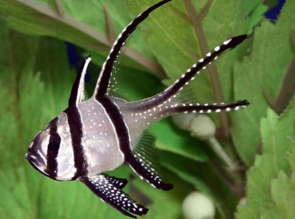 Kaudern's Cardinalfish for sale