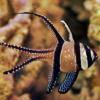 bangai cardinalfish for sale