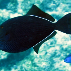 black durgon triggerfish