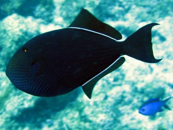 black durgon triggerfish