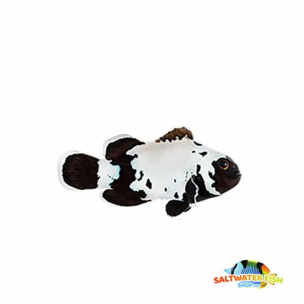 black snowflake clownfish for sale
