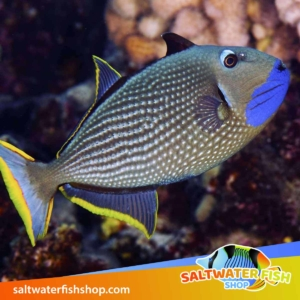 blue jaw triggerfish