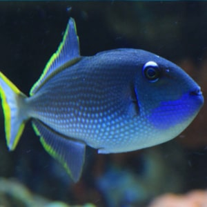 blue jaw triggerfish for sale