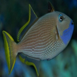 blue throat triggerfish for sale