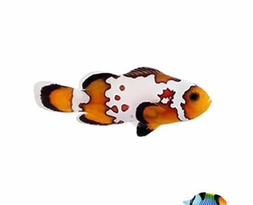 bullethole clownfish for sale