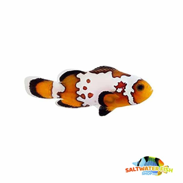 bullethole clownfish for sale