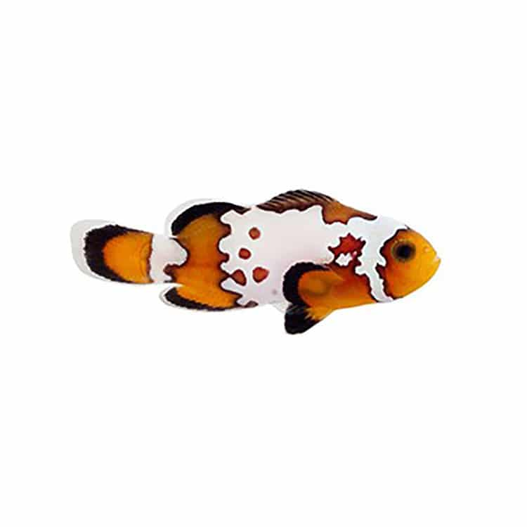 bullet hole clownfish for sale