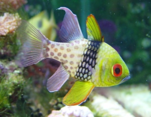 cardinalfish care