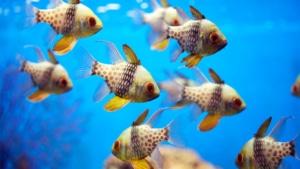 Cardinalfish size