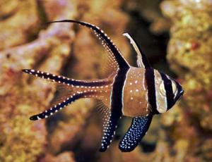 cardinalfish tankmates