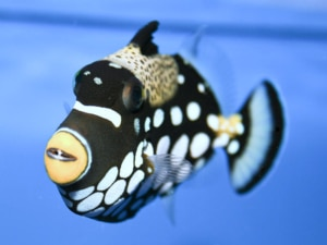 clown triggerfish for sale