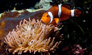 clownfish breeding