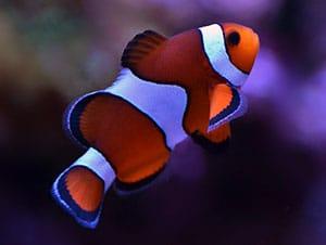 clownfish diet