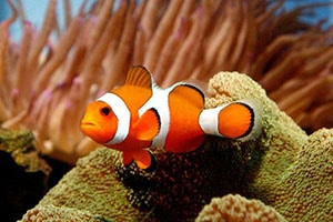 clownfish lifespan
