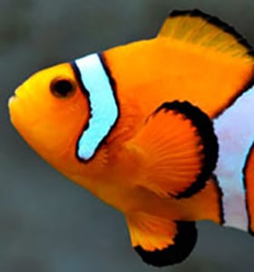 clownfish origin