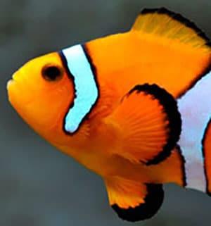 clownfish origin