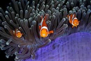 clownfish size