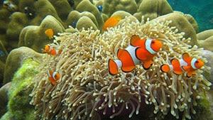 clownfish tankmates