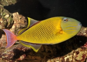 crosshatch triggerfish for sale