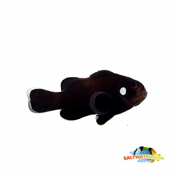 domino clownfish for sale