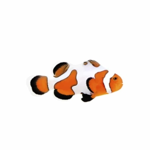 extreme gladiator clownfish for sale
