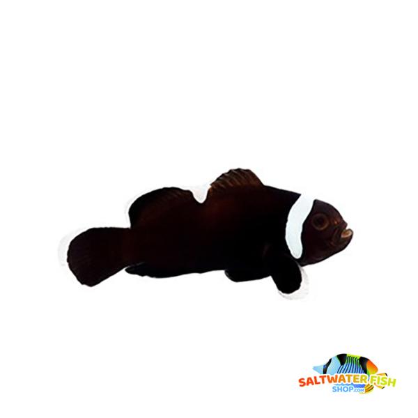 extreme misbar black clownfish
