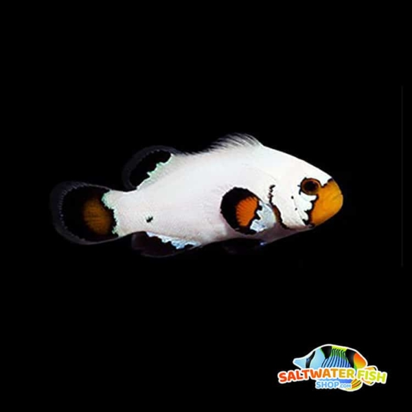 flurry clownfish for sale