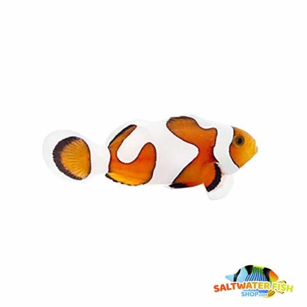 Gladiator clownfish for sale