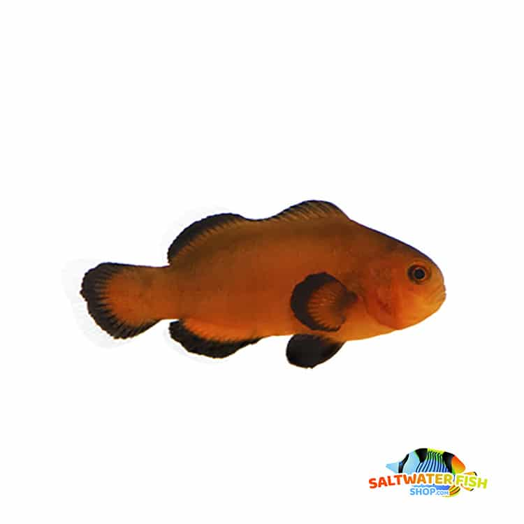 Naked Mocha clownfish for sale